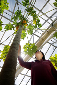 Dr. Qingyi Yu examines a papaya tree growing in the Texas A&M AgriLife Research greenhouse complex at Dallas
