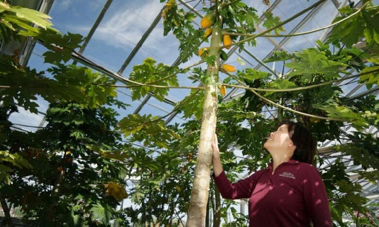Dr. Qingyi Yu stands among a dozen papaya trees growing in the Texas