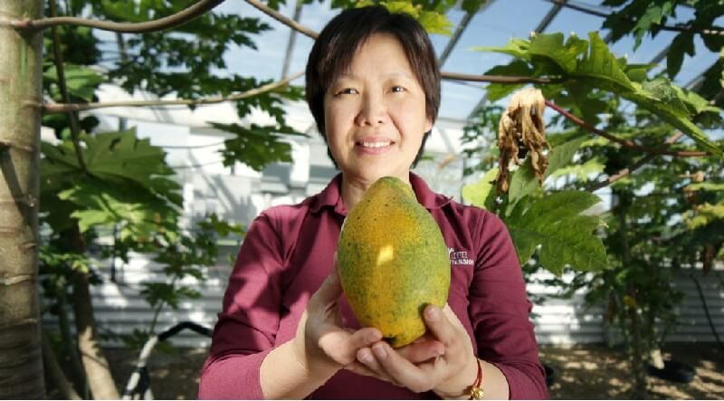 Dr. Qingyi Yu with a papaya grown in the Texas A&M AgriLife Research greenhouses, Dallas (Texas A&M AgriLife photo by Gabe Saldana)