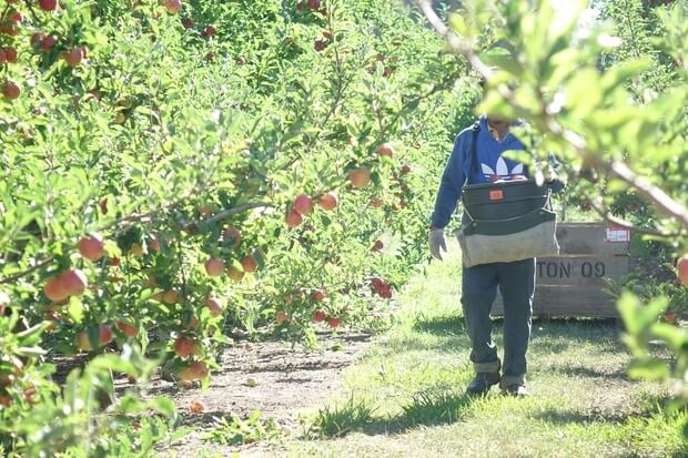 RSE worker in a Hawke's Bay orchard. Photo: RNZ / Johnny Blades