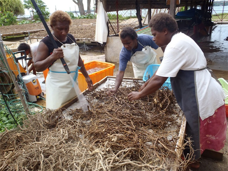 Kava accounts for 60% commodity exports