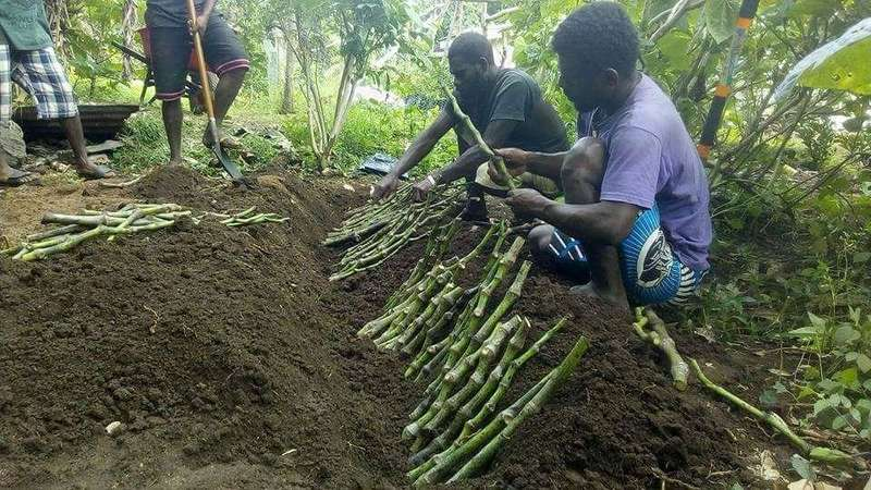 Partnership to boost Vanuatu kava quality and access to markets